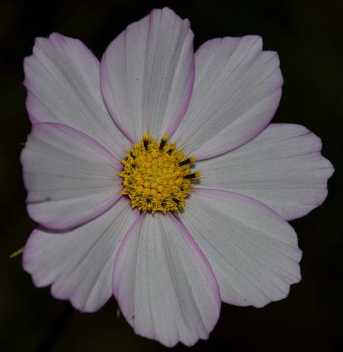 Pétales blanc-rosé