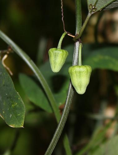 Passiflora biflora (4)