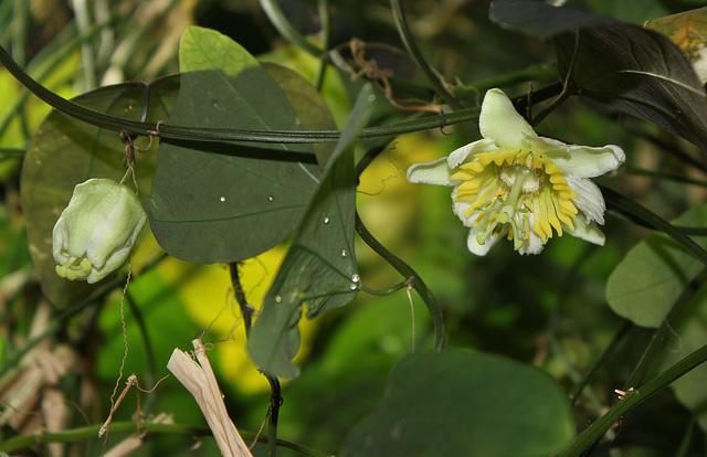 Passiflora biflora (5)