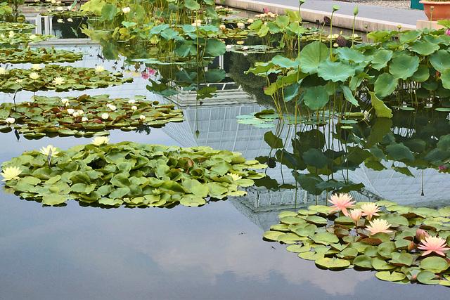 The Waterlily Pond – New York Botanical Garden, New York, New York