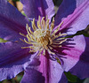 Clematis 'Incence'