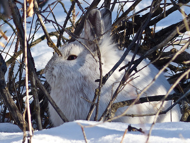 Snowshoe Hare in hiding