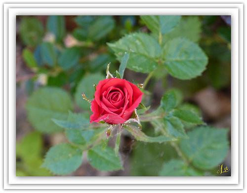 ** Mini rose pour vous **