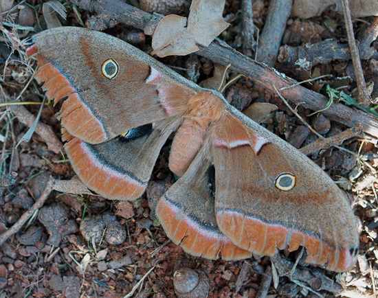 Polyphemus Moth - Antheraea polyphemus- female