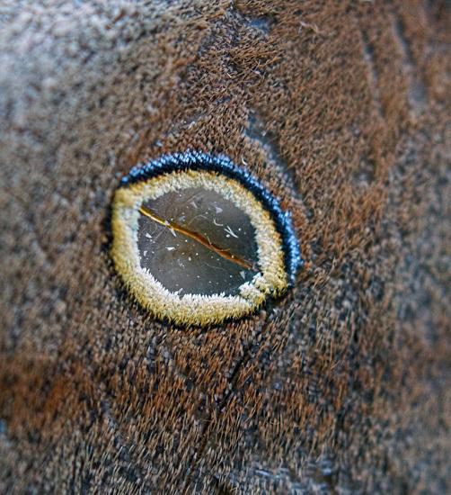 Polyphemus Moth - Antheraea polyphemus (f) Upper wing eyespot