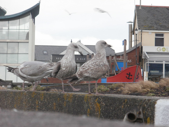 Some of the young gulls waiting for food
