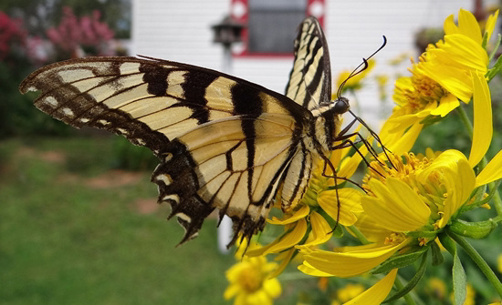 A beautiful but tattered and weary Tiger Swallowtail butterfly
