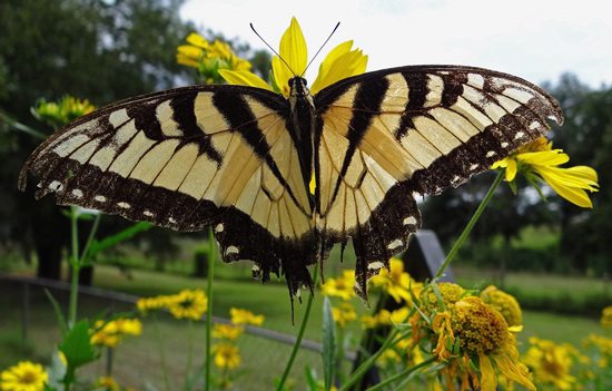 A beautiful but tattered weary Tiger Swallowtail butterfly