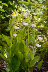Cypripedium montanum x parviflorum hybrid lady's-slipper orchid