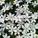 Vitsippor / Wood anemones