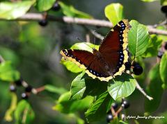 Papillon ( Morio )
