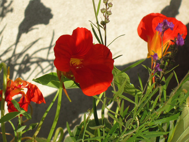 Nasturtiums enjoying the setting sun