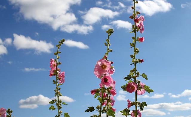 Rose- trémière