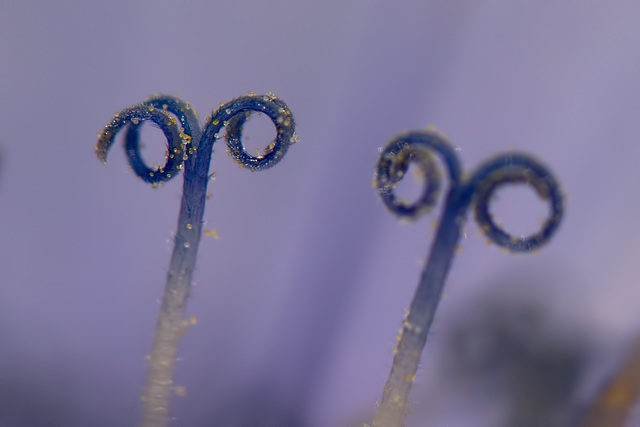 Pair of Chicory Stamens with Pollen Granules