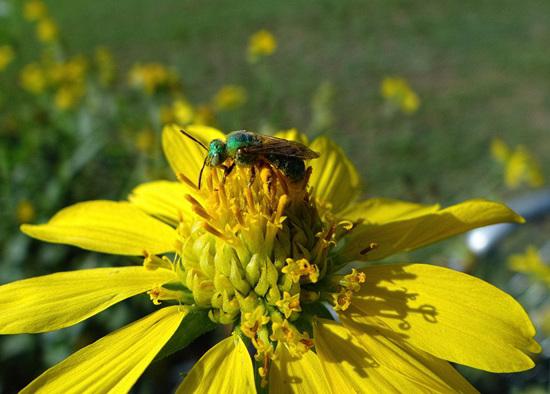 Halictid Bee (Agapostemon texanus female) on Sunflower