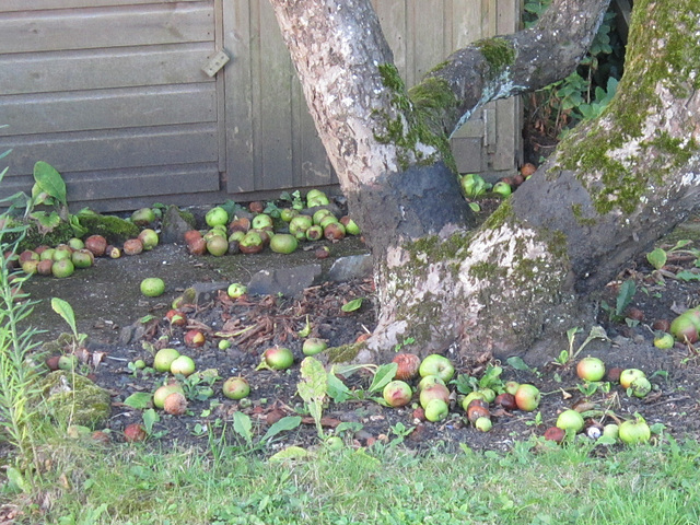 Congestion of dropped apples