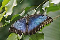 Blue Morpho - Morpho peleides