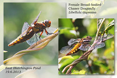 Broad-bodied Chaser dragonfly - female - East Blatchington Pond - 19.6.2013