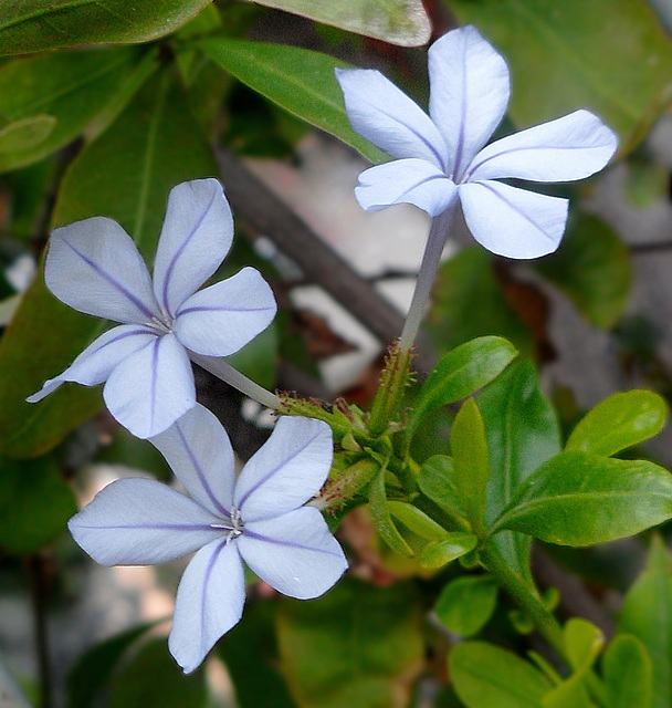 azzurro Plumbago