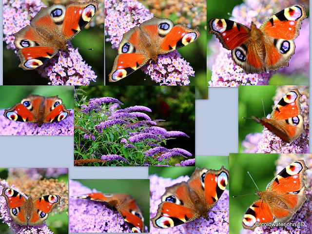 Every garden should have some Buddleia bushes...