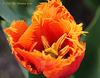 Tulip Macro 242