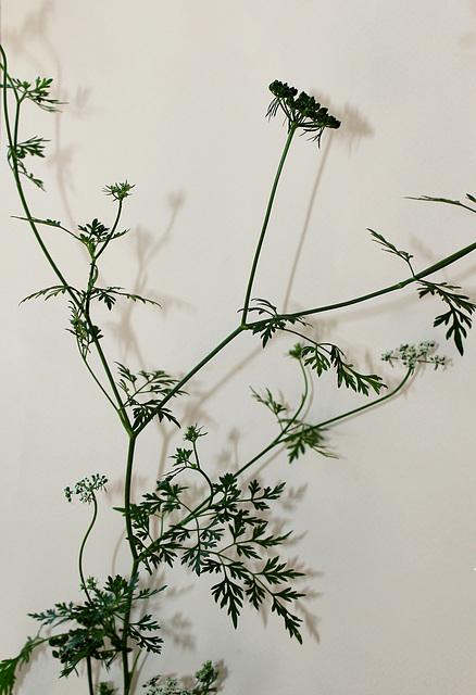 Aethusa cynapium- Petite Ciguë- Faux Persil (2)