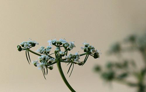Aethusa cynapium- Petite Ciguë- Faux Persil (3)