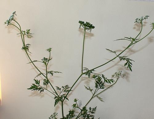 Aethusa cynapium- Petite Ciguë- Faux Persil (8)