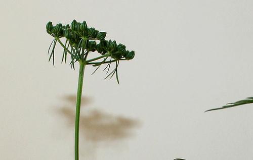 Aethusa cynapium- Petite Ciguë- Faux Persil (9)