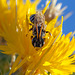Black Striped Bee on Star Thistle