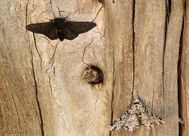 Peppered Moths Comparison
