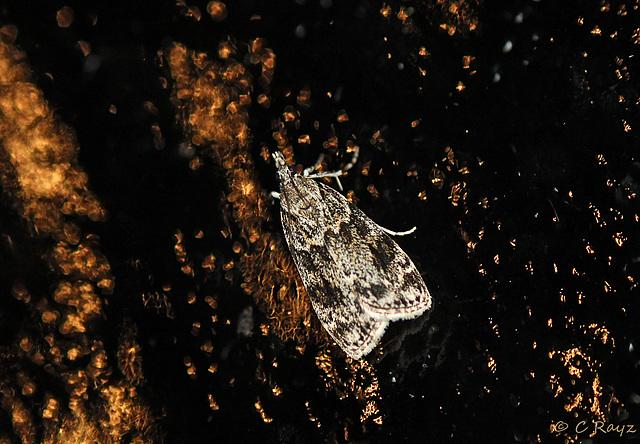 Eudonia truncicolella