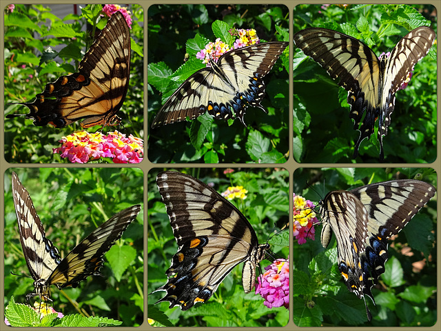 Eastern Tiger Swallowtail (Papilio glaucus)(f) Collage