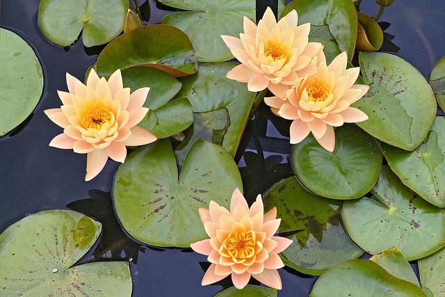 "Nymphaea ""Clyde Ikins"" – New York Botanical Garden, New York, New York"