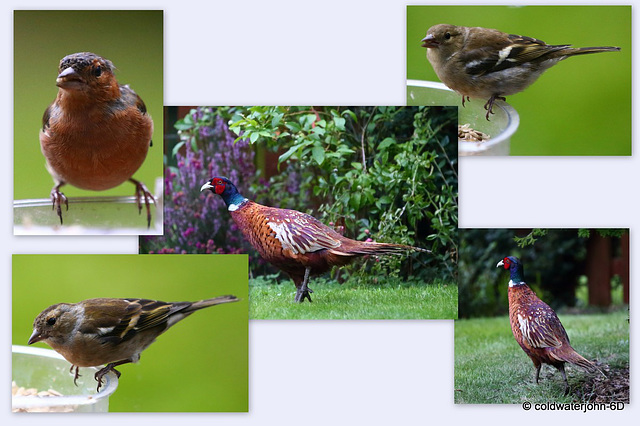 Early morning garden visitors - Young cock pheasant from this year's brood.