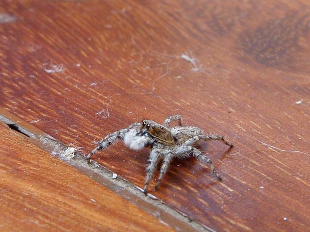 F. Salticidae