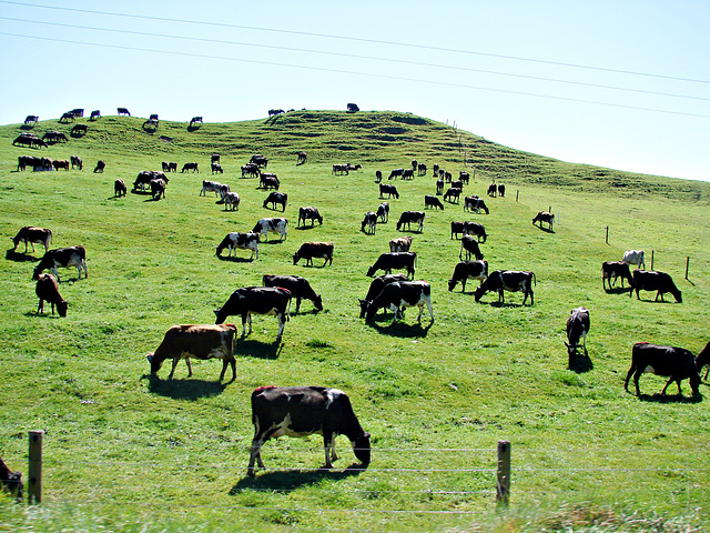 Whakamaru herd.
