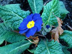 Blue polyanthus