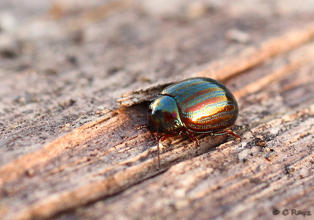 Patio Life: Rosemary Beetle