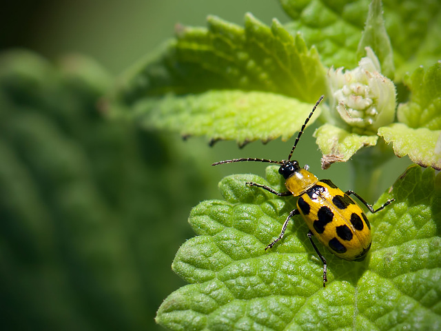 Beautiful Cucumber Beetle