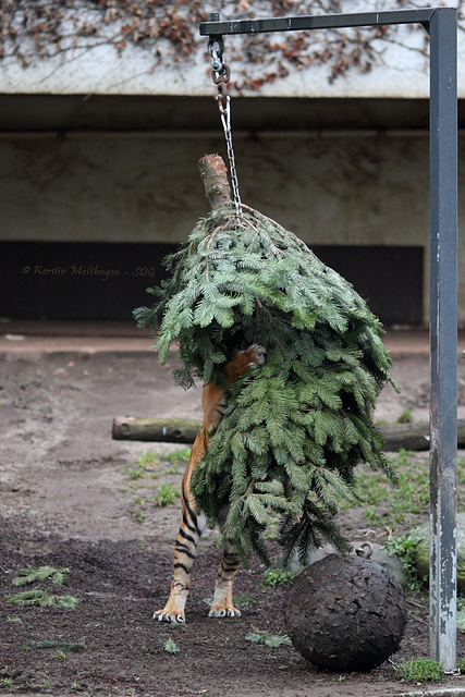 Dumai vs. Weihnachtsbaum I (Wilhelma)