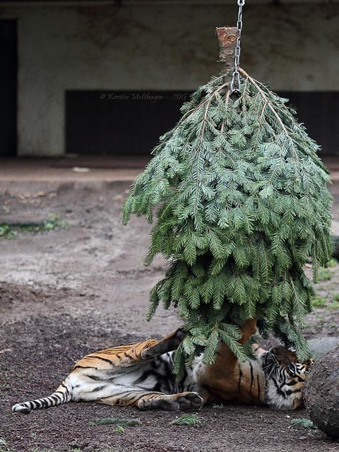 Dumai vs. Weihnachtsbaum II (Wilhelma)