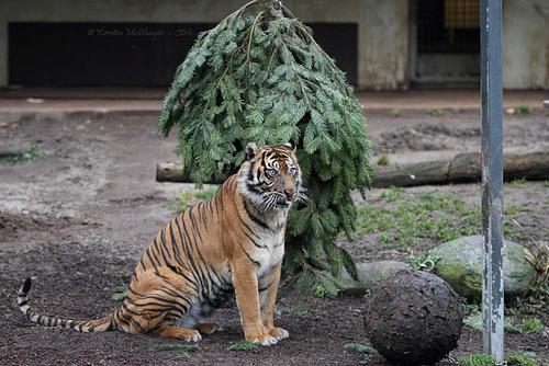 Dumai vs. Weihnachtsbaum (Wilhelma)