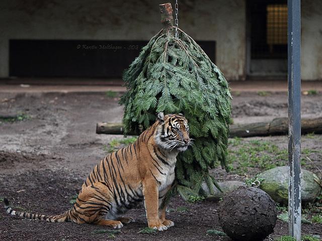 Dumai vs. Weihnachtsbaum III (Wilhelma)