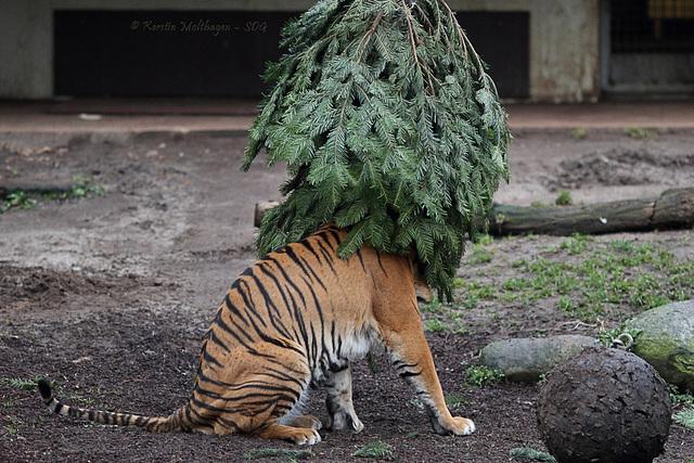 Dumai vs. Weihnachtsbaum IV (Wilhelma)