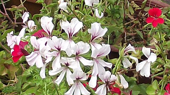 Some geraniums