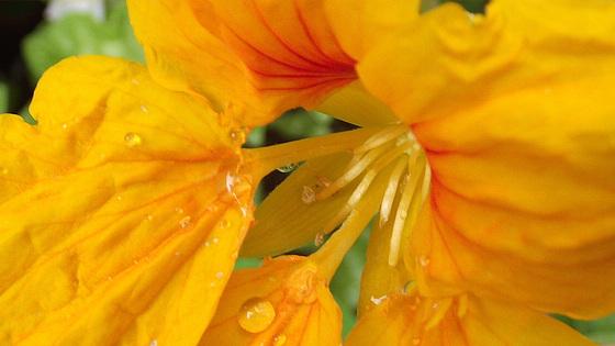 Lovely yellow nasturtium