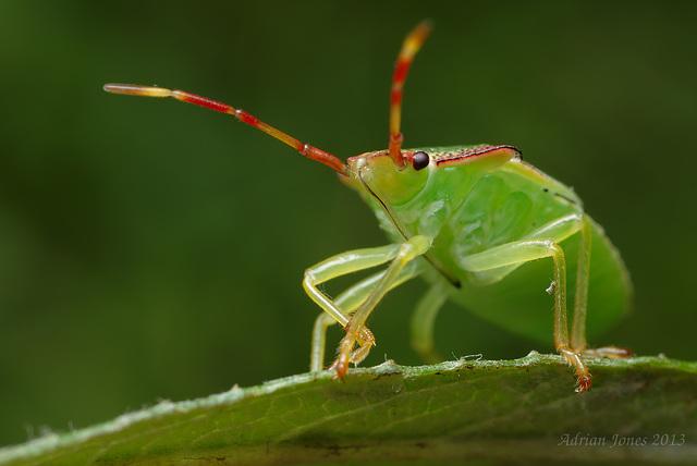 Hawthorne Shieldbug Nymph
