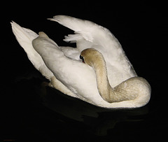 Shy - Night Of The Swan