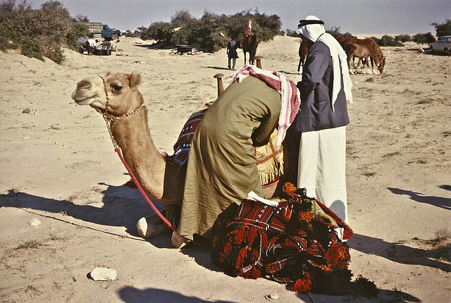 Dressing the camel